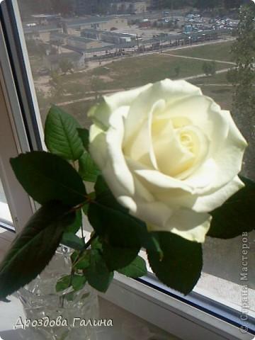 Привет всем!!!Вот и я осваиваю потихоньку искусство лепки.На этот раз я слепила розу,хочу сразу сказать,что эта роза получилась лучше всех предыдущих,наверно потому что лепила с натуры.Очень хотела добиться правельной формы бутона,ну вроде получилось-судить вам,дорогие рукодельницы! фото 2