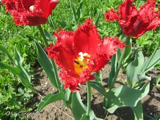 Хочу и я показать нашу дачную весну. Я очень люблю дачу. Настолько, что за всю свою жизнь (27 лет) я ни одного лета не провела в городе! Только на даче.  Я люблю все, что связано с дачей. Вот и нафотографировала немножко.  Начну с этого волшебного тюльпана. Он цветет первый раз. Надеюсь, что не менее чудесными цветами н будет радовать нас еще не один год! фото 8