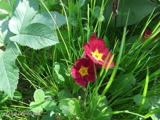 Хочу и я показать нашу дачную весну. Я очень люблю дачу. Настолько, что за всю свою жизнь (27 лет) я ни одного лета не провела в городе! Только на даче.  Я люблю все, что связано с дачей. Вот и нафотографировала немножко.  Начну с этого волшебного тюльпана. Он цветет первый раз. Надеюсь, что не менее чудесными цветами н будет радовать нас еще не один год! фото 11