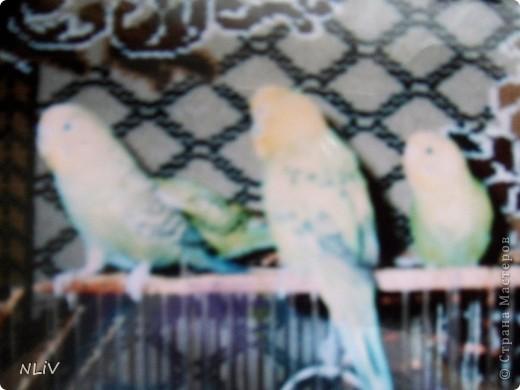 Все началось в моем далеком детстве - на 5 день рождения родители подарили мне ручного попугая, который быстро стал полноправным членом нашей семьи.Жил он у нас года 3, а потом улетел в случайно открытую дверь балкона  (папа доставал велосипед и не успел закрыть дверь) фото 3
