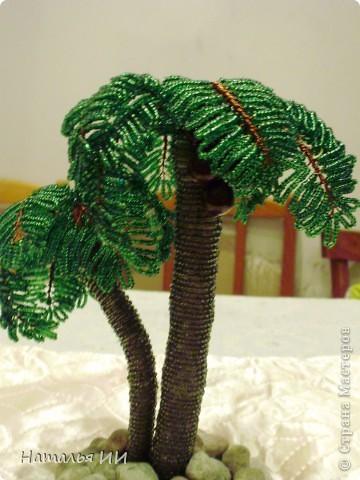 Пальма с кокосами фото 2