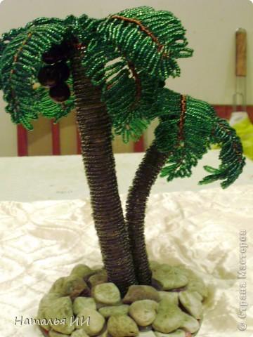 Пальма с кокосами фото 1