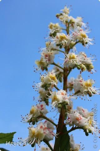 Пятую весну подряд в нашем дворе цветут такие деревца -)))  фото 14
