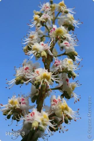 Пятую весну подряд в нашем дворе цветут такие деревца -)))  фото 15