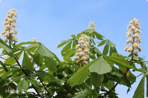 Пятую весну подряд в нашем дворе цветут такие деревца -)))  фото 18