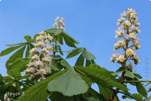 Пятую весну подряд в нашем дворе цветут такие деревца -)))  фото 19