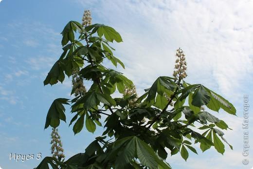 Пятую весну подряд в нашем дворе цветут такие деревца -)))  фото 17