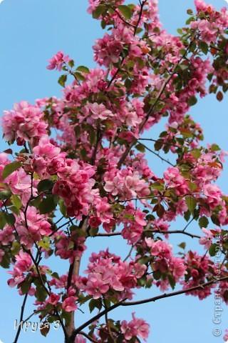 Пятую весну подряд в нашем дворе цветут такие деревца -)))  фото 2