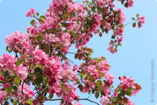 Пятую весну подряд в нашем дворе цветут такие деревца -)))  фото 3