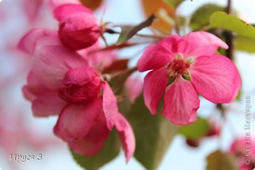 Пятую весну подряд в нашем дворе цветут такие деревца -)))  фото 4