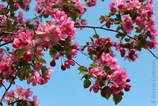 Пятую весну подряд в нашем дворе цветут такие деревца -)))  фото 5