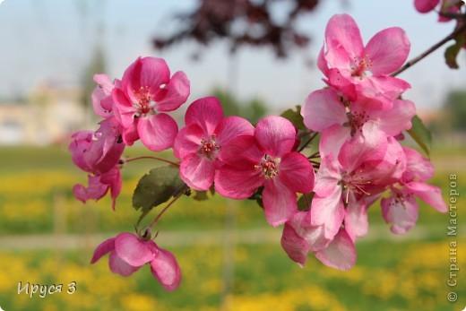 Пятую весну подряд в нашем дворе цветут такие деревца -)))  фото 6