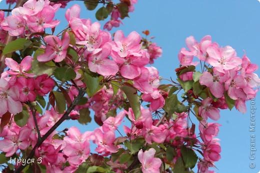 Пятую весну подряд в нашем дворе цветут такие деревца -)))  фото 1