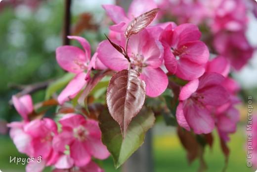 Пятую весну подряд в нашем дворе цветут такие деревца -)))  фото 7