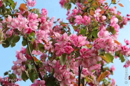 Пятую весну подряд в нашем дворе цветут такие деревца -)))  фото 8