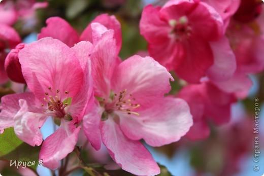 Пятую весну подряд в нашем дворе цветут такие деревца -)))  фото 9