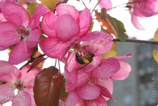 Пятую весну подряд в нашем дворе цветут такие деревца -)))  фото 10