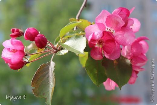 Пятую весну подряд в нашем дворе цветут такие деревца -)))  фото 11