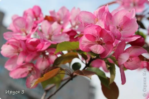 Пятую весну подряд в нашем дворе цветут такие деревца -)))  фото 12