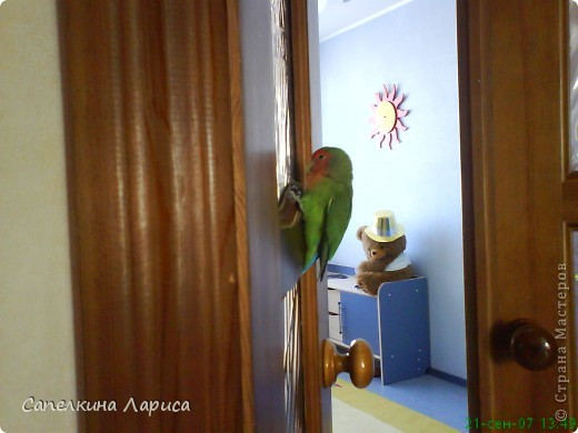 """Доброго времени суток всем Жителям, хотя конкурс """"Птица счастья"""" закрыт, все же хочу познакомить Вас с нашим попугайчиком-неразлучником. Это Чича фото 12"""