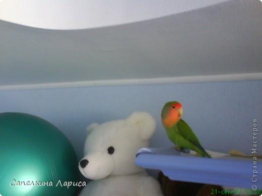 """Доброго времени суток всем Жителям, хотя конкурс """"Птица счастья"""" закрыт, все же хочу познакомить Вас с нашим попугайчиком-неразлучником. Это Чича фото 1"""