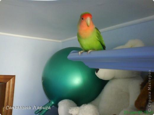 """Доброго времени суток всем Жителям, хотя конкурс """"Птица счастья"""" закрыт, все же хочу познакомить Вас с нашим попугайчиком-неразлучником. Это Чича фото 2"""