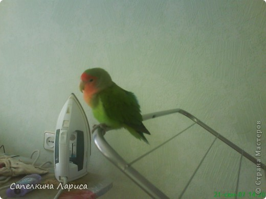 """Доброго времени суток всем Жителям, хотя конкурс """"Птица счастья"""" закрыт, все же хочу познакомить Вас с нашим попугайчиком-неразлучником. Это Чича фото 3"""