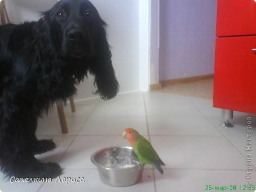 """Доброго времени суток всем Жителям, хотя конкурс """"Птица счастья"""" закрыт, все же хочу познакомить Вас с нашим попугайчиком-неразлучником. Это Чича фото 10"""