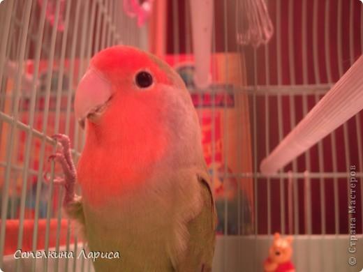 """Доброго времени суток всем Жителям, хотя конкурс """"Птица счастья"""" закрыт, все же хочу познакомить Вас с нашим попугайчиком-неразлучником. Это Чича фото 6"""
