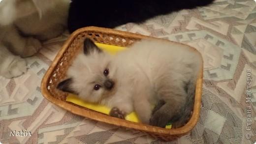 Так хочется маленьких невских котят, Что к мамочке жмутся и сладко сопят... И чмокая дружно, сосут молочко, И лапки расставив, урчат под бочком… фото 6