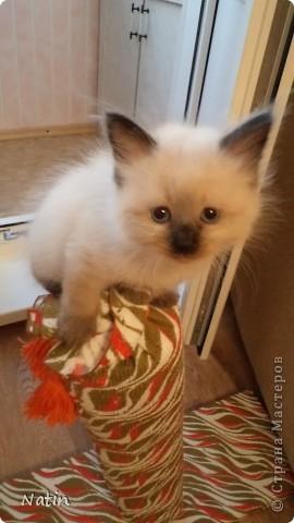 Так хочется маленьких невских котят, Что к мамочке жмутся и сладко сопят... И чмокая дружно, сосут молочко, И лапки расставив, урчат под бочком… фото 10