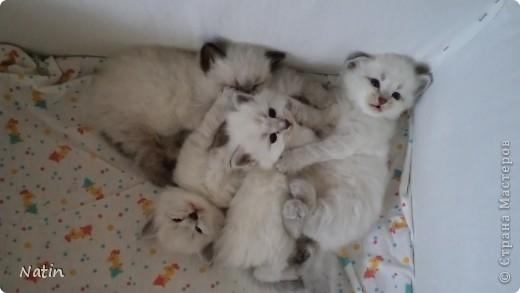 Так хочется маленьких невских котят, Что к мамочке жмутся и сладко сопят... И чмокая дружно, сосут молочко, И лапки расставив, урчат под бочком… фото 3