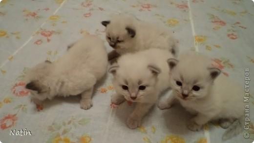 Так хочется маленьких невских котят, Что к мамочке жмутся и сладко сопят... И чмокая дружно, сосут молочко, И лапки расставив, урчат под бочком… фото 2