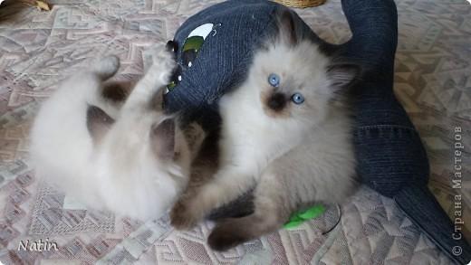 Так хочется маленьких невских котят, Что к мамочке жмутся и сладко сопят... И чмокая дружно, сосут молочко, И лапки расставив, урчат под бочком… фото 7