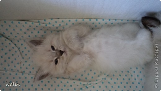 Так хочется маленьких невских котят, Что к мамочке жмутся и сладко сопят... И чмокая дружно, сосут молочко, И лапки расставив, урчат под бочком… фото 4