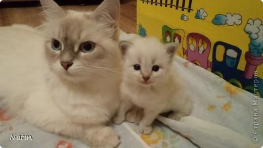 Так хочется маленьких невских котят, Что к мамочке жмутся и сладко сопят... И чмокая дружно, сосут молочко, И лапки расставив, урчат под бочком… фото 1