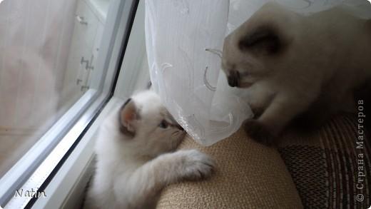 Так хочется маленьких невских котят, Что к мамочке жмутся и сладко сопят... И чмокая дружно, сосут молочко, И лапки расставив, урчат под бочком… фото 8