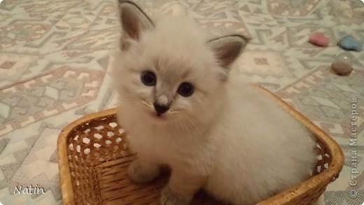 Так хочется маленьких невских котят, Что к мамочке жмутся и сладко сопят... И чмокая дружно, сосут молочко, И лапки расставив, урчат под бочком… фото 11