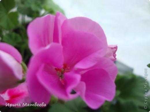 Цветы являются для меня важной частью жизни и творчества, а также интерьера. В квартире круглогодично живет множество цветов. Однако я хотела бы рассказать о герани (по научному - пеларгонии). Многие настороженно относятся к пеларгонии, поскольку считают, что она неприятно пахнет. Действительно, у ее листвы специфичный запах ,который может и не нравиться человеку. Однако, многим ее запах, обладающий полезными бактерицидными свойствами, нравится или по крайней мере, не вызывает раздражения. Главное знать, что у человека нет аллергии на этот запах или на цветы, нее ставить много гераней в детскую комнату. Что касается меня, мне повезло. Запах герани не тревожит ни меня, ни моих домочадцев. Мои цветы нравятся всей семье.   Герань начинает цвести в феврале - марте. За окном снег, а на окне горят цветы. Ждут, когда температура позволит перебраться им на лоджию.Она у меня  не утепленная, поэтому цветы там могут жить с апреля по  ноябрь.  фото 13