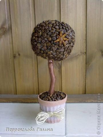 Кофейное дерево 3 фото 1