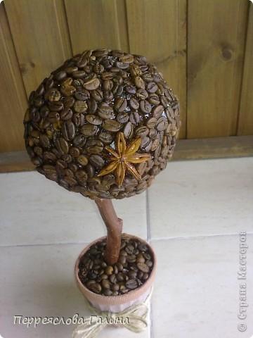Кофейное дерево 3 фото 3