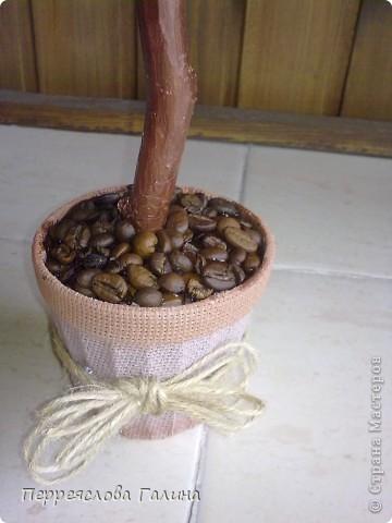 Кофейное дерево 3 фото 4