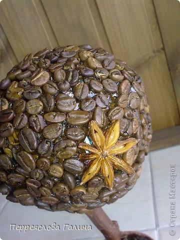 Кофейное дерево 3 фото 5