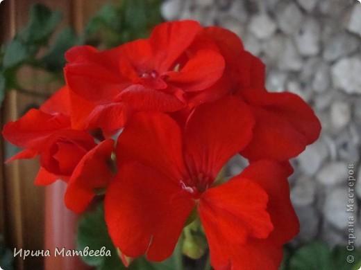 Цветы являются для меня важной частью жизни и творчества, а также интерьера. В квартире круглогодично живет множество цветов. Однако я хотела бы рассказать о герани (по научному - пеларгонии). Многие настороженно относятся к пеларгонии, поскольку считают, что она неприятно пахнет. Действительно, у ее листвы специфичный запах ,который может и не нравиться человеку. Однако, многим ее запах, обладающий полезными бактерицидными свойствами, нравится или по крайней мере, не вызывает раздражения. Главное знать, что у человека нет аллергии на этот запах или на цветы, нее ставить много гераней в детскую комнату. Что касается меня, мне повезло. Запах герани не тревожит ни меня, ни моих домочадцев. Мои цветы нравятся всей семье.   Герань начинает цвести в феврале - марте. За окном снег, а на окне горят цветы. Ждут, когда температура позволит перебраться им на лоджию.Она у меня  не утепленная, поэтому цветы там могут жить с апреля по  ноябрь.  фото 7
