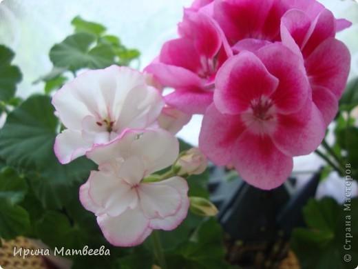 Цветы являются для меня важной частью жизни и творчества, а также интерьера. В квартире круглогодично живет множество цветов. Однако я хотела бы рассказать о герани (по научному - пеларгонии). Многие настороженно относятся к пеларгонии, поскольку считают, что она неприятно пахнет. Действительно, у ее листвы специфичный запах ,который может и не нравиться человеку. Однако, многим ее запах, обладающий полезными бактерицидными свойствами, нравится или по крайней мере, не вызывает раздражения. Главное знать, что у человека нет аллергии на этот запах или на цветы, нее ставить много гераней в детскую комнату. Что касается меня, мне повезло. Запах герани не тревожит ни меня, ни моих домочадцев. Мои цветы нравятся всей семье.   Герань начинает цвести в феврале - марте. За окном снег, а на окне горят цветы. Ждут, когда температура позволит перебраться им на лоджию.Она у меня  не утепленная, поэтому цветы там могут жить с апреля по  ноябрь.  фото 3