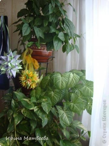 Цветы являются для меня важной частью жизни и творчества, а также интерьера. В квартире круглогодично живет множество цветов. Однако я хотела бы рассказать о герани (по научному - пеларгонии). Многие настороженно относятся к пеларгонии, поскольку считают, что она неприятно пахнет. Действительно, у ее листвы специфичный запах ,который может и не нравиться человеку. Однако, многим ее запах, обладающий полезными бактерицидными свойствами, нравится или по крайней мере, не вызывает раздражения. Главное знать, что у человека нет аллергии на этот запах или на цветы, нее ставить много гераней в детскую комнату. Что касается меня, мне повезло. Запах герани не тревожит ни меня, ни моих домочадцев. Мои цветы нравятся всей семье.   Герань начинает цвести в феврале - марте. За окном снег, а на окне горят цветы. Ждут, когда температура позволит перебраться им на лоджию.Она у меня  не утепленная, поэтому цветы там могут жить с апреля по  ноябрь.  фото 22