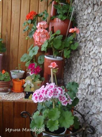 Цветы являются для меня важной частью жизни и творчества, а также интерьера. В квартире круглогодично живет множество цветов. Однако я хотела бы рассказать о герани (по научному - пеларгонии). Многие настороженно относятся к пеларгонии, поскольку считают, что она неприятно пахнет. Действительно, у ее листвы специфичный запах ,который может и не нравиться человеку. Однако, многим ее запах, обладающий полезными бактерицидными свойствами, нравится или по крайней мере, не вызывает раздражения. Главное знать, что у человека нет аллергии на этот запах или на цветы, нее ставить много гераней в детскую комнату. Что касается меня, мне повезло. Запах герани не тревожит ни меня, ни моих домочадцев. Мои цветы нравятся всей семье.   Герань начинает цвести в феврале - марте. За окном снег, а на окне горят цветы. Ждут, когда температура позволит перебраться им на лоджию.Она у меня  не утепленная, поэтому цветы там могут жить с апреля по  ноябрь.  фото 2