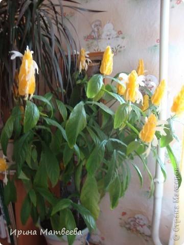 Цветы являются для меня важной частью жизни и творчества, а также интерьера. В квартире круглогодично живет множество цветов. Однако я хотела бы рассказать о герани (по научному - пеларгонии). Многие настороженно относятся к пеларгонии, поскольку считают, что она неприятно пахнет. Действительно, у ее листвы специфичный запах ,который может и не нравиться человеку. Однако, многим ее запах, обладающий полезными бактерицидными свойствами, нравится или по крайней мере, не вызывает раздражения. Главное знать, что у человека нет аллергии на этот запах или на цветы, нее ставить много гераней в детскую комнату. Что касается меня, мне повезло. Запах герани не тревожит ни меня, ни моих домочадцев. Мои цветы нравятся всей семье.   Герань начинает цвести в феврале - марте. За окном снег, а на окне горят цветы. Ждут, когда температура позволит перебраться им на лоджию.Она у меня  не утепленная, поэтому цветы там могут жить с апреля по  ноябрь.  фото 21