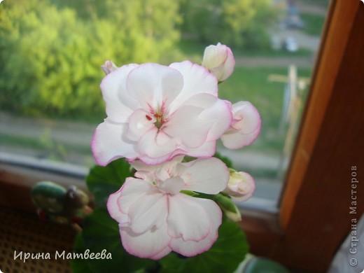 Цветы являются для меня важной частью жизни и творчества, а также интерьера. В квартире круглогодично живет множество цветов. Однако я хотела бы рассказать о герани (по научному - пеларгонии). Многие настороженно относятся к пеларгонии, поскольку считают, что она неприятно пахнет. Действительно, у ее листвы специфичный запах ,который может и не нравиться человеку. Однако, многим ее запах, обладающий полезными бактерицидными свойствами, нравится или по крайней мере, не вызывает раздражения. Главное знать, что у человека нет аллергии на этот запах или на цветы, нее ставить много гераней в детскую комнату. Что касается меня, мне повезло. Запах герани не тревожит ни меня, ни моих домочадцев. Мои цветы нравятся всей семье.   Герань начинает цвести в феврале - марте. За окном снег, а на окне горят цветы. Ждут, когда температура позволит перебраться им на лоджию.Она у меня  не утепленная, поэтому цветы там могут жить с апреля по  ноябрь.  фото 11
