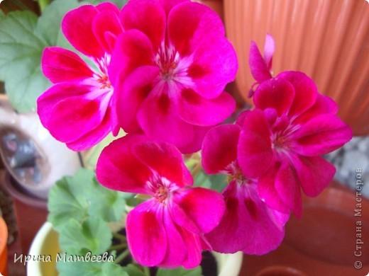 Цветы являются для меня важной частью жизни и творчества, а также интерьера. В квартире круглогодично живет множество цветов. Однако я хотела бы рассказать о герани (по научному - пеларгонии). Многие настороженно относятся к пеларгонии, поскольку считают, что она неприятно пахнет. Действительно, у ее листвы специфичный запах ,который может и не нравиться человеку. Однако, многим ее запах, обладающий полезными бактерицидными свойствами, нравится или по крайней мере, не вызывает раздражения. Главное знать, что у человека нет аллергии на этот запах или на цветы, нее ставить много гераней в детскую комнату. Что касается меня, мне повезло. Запах герани не тревожит ни меня, ни моих домочадцев. Мои цветы нравятся всей семье.   Герань начинает цвести в феврале - марте. За окном снег, а на окне горят цветы. Ждут, когда температура позволит перебраться им на лоджию.Она у меня  не утепленная, поэтому цветы там могут жить с апреля по  ноябрь.  фото 8